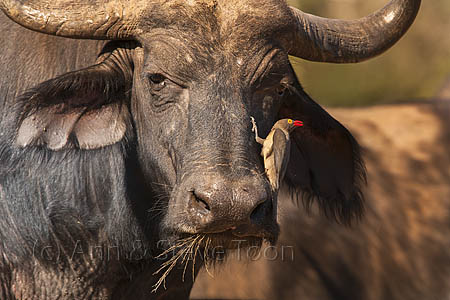 AMHB62 Cape buffalo with redbilled oxpecker