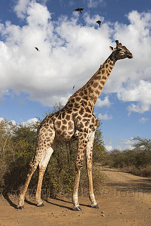 AMHG333 Giraffe at crossroads
