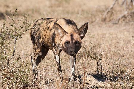 AMPW74 African wild dog