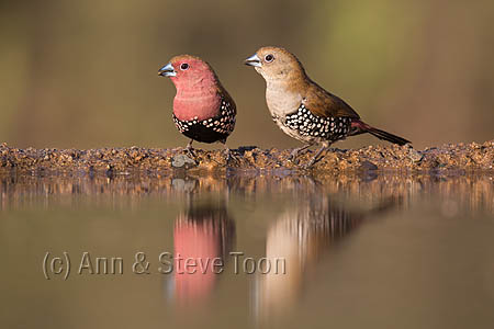 Pink-throated twinspot (Hypargos margaritatus), male (left) and female, Zimanga private game reserve, KwaZulu-Natal, South Africa, May 2015
