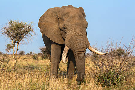 African elephant bull (Loxodonta africana), Kruger National Park, South Africa, October 2014
