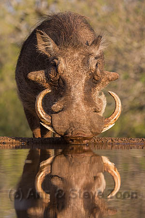 Warthog (Phacochoerus aethiopicus), at water, Mkhuze game reserve, KwaZulu-Natal, South Africa, May 2015