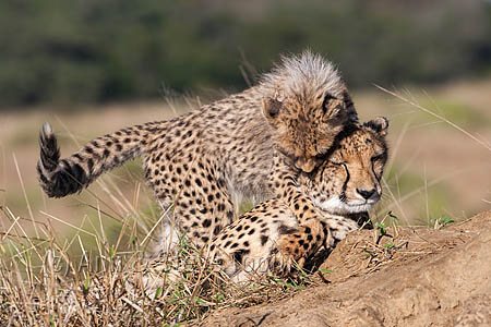 Cheetah cub (Acinonyx jubatus) tormenting mother, Phinda private game reserve, Kwazulu Natal, South Africa, June 2012