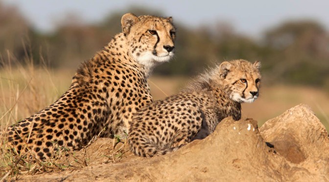Well-spotted – Cheetah family posing at Phinda