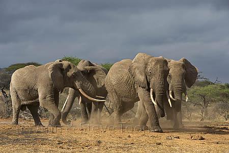 Bull elephants (Loxodonta africana) at the waterhole in front of the lodge, Ol Donyo Wuas, Mbirikani Group Ranch, Amboseli-Tsavo eco-system, Chyulu Hills, Kenya, Africa, October 2012