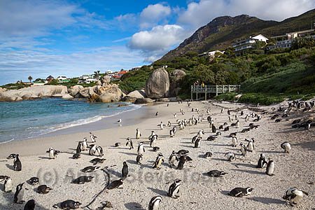 African penguins (Spheniscus demersus) colony on Foxy Beach, Table Mountain National Park, Simon's Town, Cape Town, South Africa