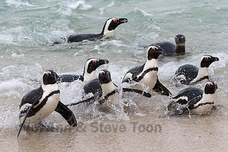 African penguins (Spheniscus demersus) in the surf by Foxy Beach, Table Mountain National Park, Simon's Town, Cape Town, South Africa, September 2015