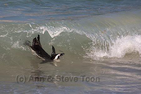 African penguin (Spheniscus demersus) in the surf off Foxy Beach, Table Mountain National Park, Simon's Town, Cape Town, South Africa, September 2015