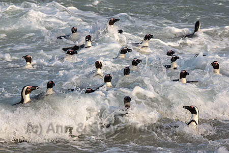 African penguins (Spheniscus demersus) in the surf off Foxy Beach, Table Mountain National Park, Simon's Town, Cape Town, South Africa, September 2015