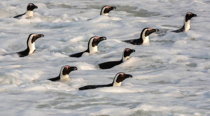 Surfing penguins make a big splash in Cape Town