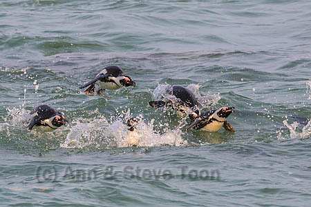 African penguins (Spheniscus demersus) porpoising in the surf off Foxy Beach, Table Mountain National Park, Simon's Town, Cape Town, South Africa, September 2015