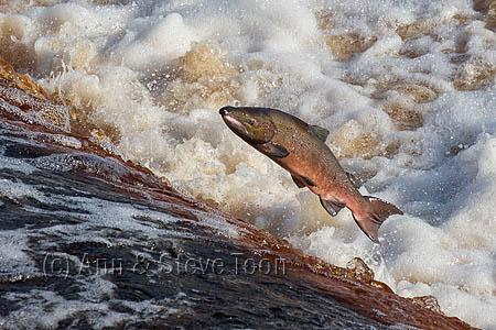 Atlantic salmon (Salmo salar) leaping on upstream migration, River Tyne, Hexham, Northumberland, UK, November 2015