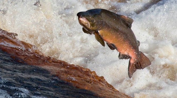 Flying fish – catching salmon on camera