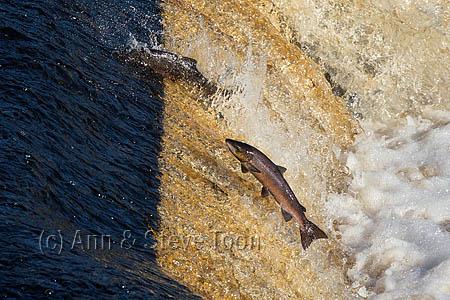 Atlantic salmon (Salmo salar) leaping weir on upstream migration, River Tyne, Hexham, Northumberland, UK, November 2015