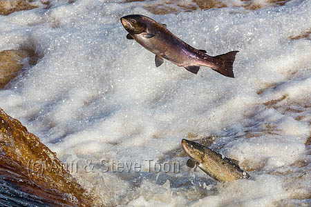 Atlantic salmon (Salmo salar) leaping on upstream migration, River Tyne, Hexham, Northumberland, UK, November 2015