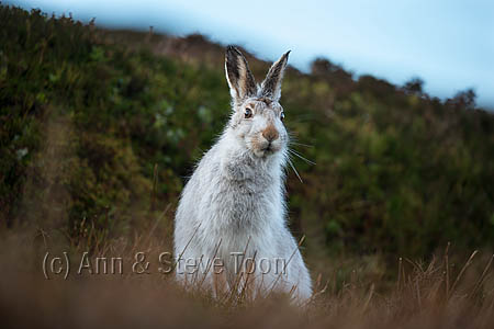 Mountain hare (Lepus timidus) in winter coat, Scottish Highlands, Scotland, UK, December 2015