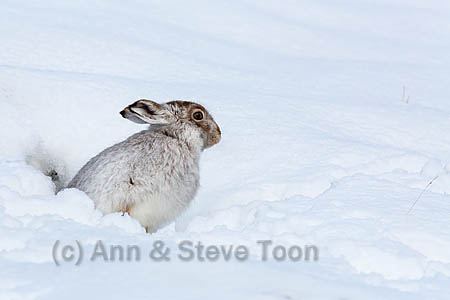 Mountain hare (Lepus timidus) in winter snow, Scottish Highlands, Scotland, UK, December 2015