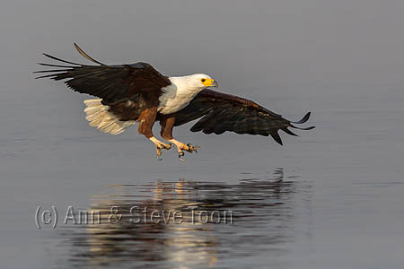 African fish eagle (Haliaeetus vocifer) fishing, Chobe National Park, Botswana, Africa, October 2014