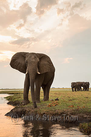 African elephant (Loxodonta africana), Chobe National Park, Botswana, October 2014