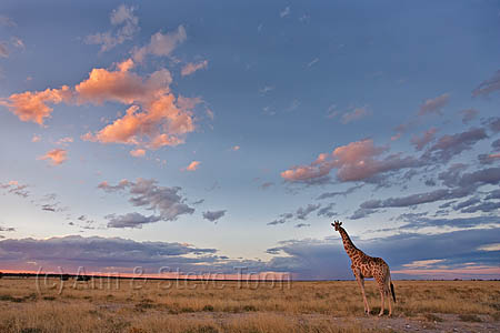 Giraffe, Giraffa camelopardalis, at dusk, Etosha National Park, Namibia