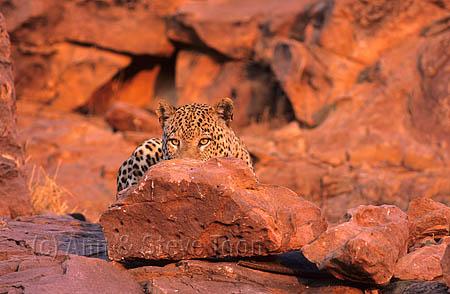 Leopard, Panthera pardus, male, Okonjima, Namibia