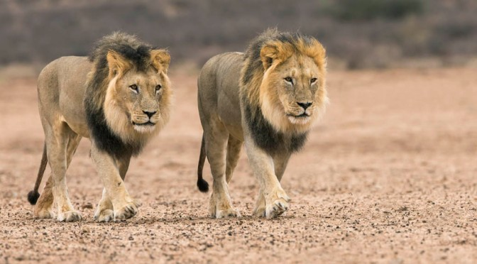 Kalahari Big Cats – the Might and the Mane