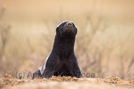Honey Badger or ratel (Mellivora capensis), Kgalagadi Transfrontierl Park, Northern Cape, South Africa, February 2014