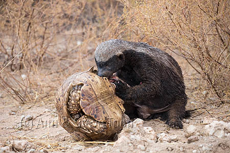 Honey Badger or ratel (Mellivora capensis) eating leopard tortoise (Geochelone pardalis), Kgalagadi Transfrontier Park, Northern Cape, South Africa, January 2016