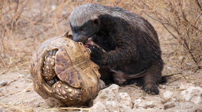 'Hunny' badger liking tortoise too much!
