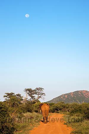 Bull elephant (Loxodonta africana), walking off, Madikwe reserve, North West Province, South Africa, February 2014
