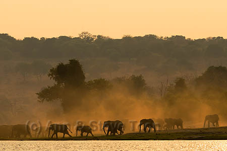 African elephant herd at sunrise (Loxodonta africana), Chobe national park, Botswana, Africa, October 2014