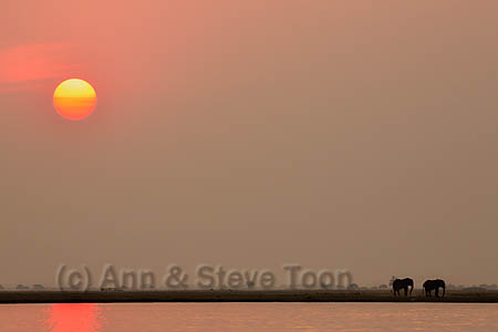 African elephants at sunset (Loxodonta africana), Chobe national park, Botswana, Africa, October 2014