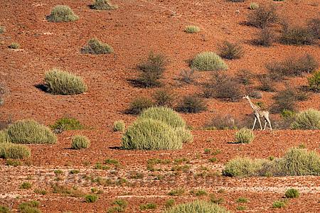 Giraffe (Giraffa camelopardalis), Kunene region, Namibia, Africa, May 2013