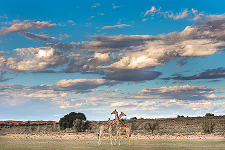 Giraffes (Giraffa camelopardalis) in the Aiuob riverbed as rain clouds gather, Kgalagadi Transfrontier Park, Northern Cape, South Africa, February 2016