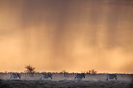 Plains zebra, Equus burchelli, at stormy sunset, Etosha National Park, Namibia, Africa