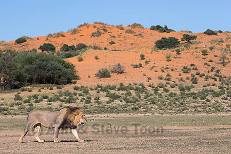 Male lion (Panthera leo)on patrol in the Kalahari, Kgalagadi Transfrontier Park, Northern Cape, South Africa, February 2016