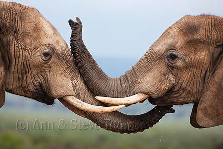 Elephants, Loxodonta africana, greeting, Addo national park, South Africa