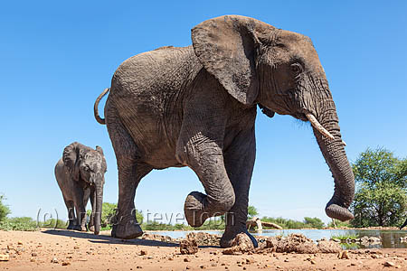 African elephants (Loxodonta africana) at waterhole, Madikwe reserve, South Africa, February 2014