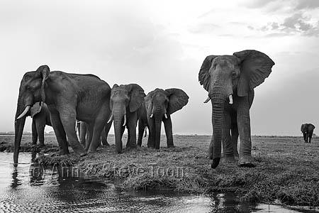 African elephants (Loxodonta africana), Chobe National Park, Botswana, October 2014