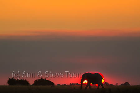 African elephant (Loxodonta africana) at sunset, Chobe River, Botswana, June 2016