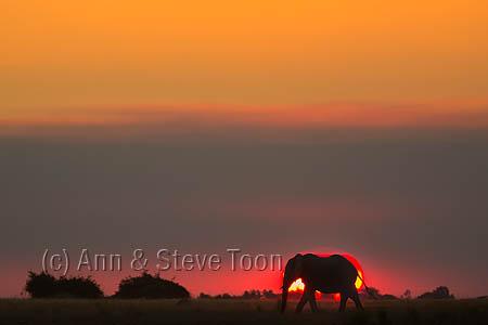 African elephant (Loxodonta africana) at sunset, Chobe River, Botswana, June 2016