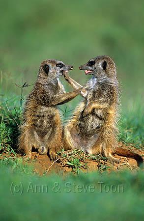 Meerkats, Suricatta suricata, squabbling, Addo Elephant national park, South Africa