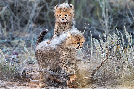 Cheetah (Acinonyx jubatus) cubs, Kgalagadi Transfronter Park, Northern Cape, South Africa, June 2016
