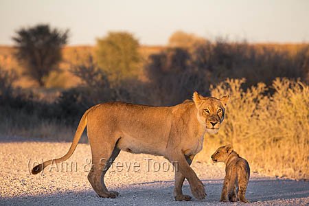 Lion (Panthera leo) with cub, Kgalagadi transfrontier park, South Africa, June 2016