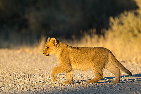 Lion (Panthera leo) cub, Kgalagadi transfrontier park, South Africa, June 2016