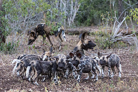 African wild dog pups (Lycaon pictus) feeding, Zimanga private game reserve, KwaZulu-Natal, South Africa, 28 June 2016