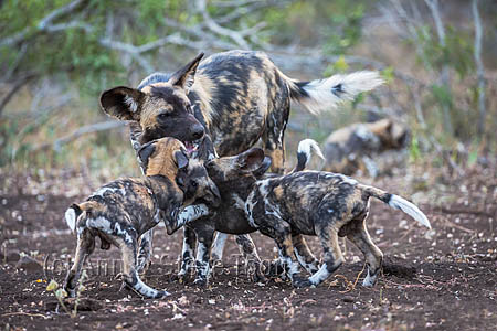 African wild dog (Lycaon pictus) regurgitating food for pups, Zimanga private game reserve, KwaZulu-Natal, South Africa, 28 June 2016