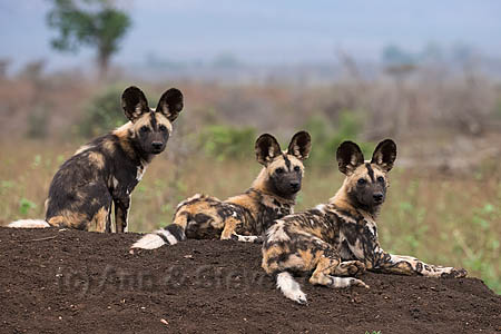 African wild dog (Lycaon pictus) pups from pack at three to four months old, Zimanga private game reserve, KwaZulu-Natal, South Africa, September 2016