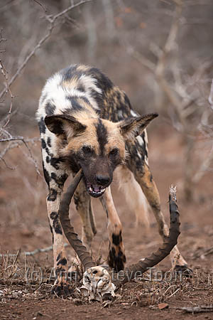 African wild dog (Lycaon pictus) chewing old impala horns, Zimanga private game reserve, KwaZulu-Natal, South Africa, September 2016