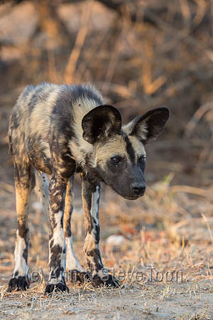 African wild dog (Lycaon pictus), Kruger national park, South Africa, September 2016